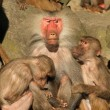 Stock Photo: Male baboon with females