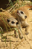 Two baby meerkats looking up — Stock Photo