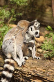 Ring-tailed lemur with a baby on its back — Стоковое фото