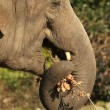 Stock Photo: Elephant eating