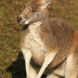 Kangaroo — Stock Photo #4973635