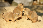 Group of prairie dogs — Stock Photo