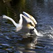 Young swan — Stock Photo