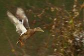 Commencing flight duck — Stock Photo