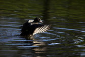 Coot with outstretched wings in natural environment — Stock Photo