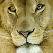 Head of an african lion - Stock Photo