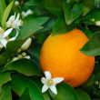 Stock Photo: Orange blossom