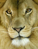 Head of an african lion — Stock Photo