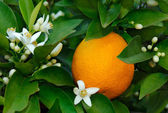 Orange blossom — Stock Photo