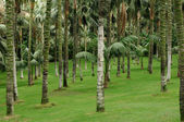Palm grove in tenerife — Stock Photo