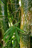 Scratched bamboo — Stock Photo