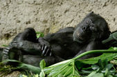 Sleeping chimpanzee in a bed of banana leafs — Photo