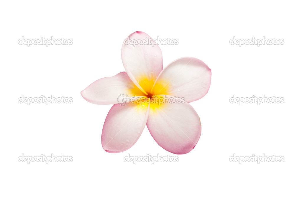Close-up of frangipani flower isolated on white — Stock Photo #3945998
