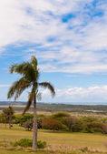 Mtunzini Palm — Stock Photo