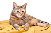 Cat on Golden Fabric — Stock Photo