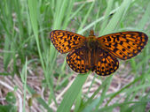 Butterfly (Argunnis adippe) — Stock Photo