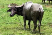 Carabao (Bubalus bubalis carabanesis) — Stock Photo