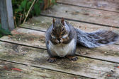 Squirrel, Gray-Early morning — Stock Photo