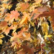 Autumn Colors (Maple Leaves) — Stock Photo