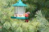 Cardinal, Northern (Bald) — Stock Photo