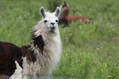 Llama in a field of tall grasses. They are widely used as a pack and meat animal, are variable sizes and of many colours, being often white, brown, or piebald. — Photo