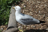 Ring-Billed Gull — Stock Photo