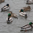 Mallard Duck-Drakes & Hens — Stock Photo
