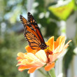 Monarch Butterfly on Orange Zinnia — Stock Photo