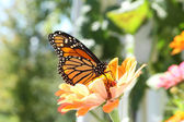 Monarch Butterfly on Orange Zinnia — Stock Photo