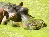 Hippo — Stockfoto