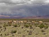 Wild guanacos — Stock Photo