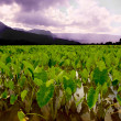 Taro Fields — Stock Photo