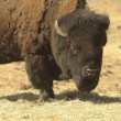 Bison in Wyoming — Stock Photo