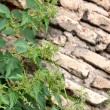Nettle over wall — Stock Photo