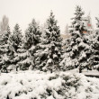 Stock Photo: Christmas trees in snow