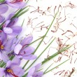 Stock Photo: Saffron flowers