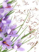 Saffron flowers — Stock Photo