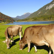 Cows in Tirol — Stock Photo