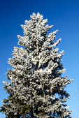 Frost on tree — Stock Photo