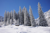 Winter with mountains and fur-trees in snow — Stock Photo