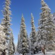 Winter with mountains and spruce in snow — Stock Photo