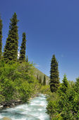Mountains river and fur-trees — Stock Photo