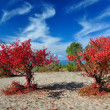 Stock Photo: Two claret red apricot trees on sandy lakeside