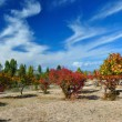 Stock Photo: Claret red apricot orchard on sandy lakeside