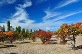 Claret red apricot orchard on sandy lakeside — Stock Photo