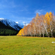 Picturesque landscape yellow birches — Stock Photo