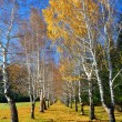 Yellow birches and blue sky — Stock Photo #4256972