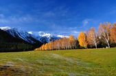 Landscape with autumn birches and alpine meadow — Stock Photo