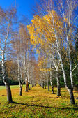 Yellow birches and blue sky — Stock Photo