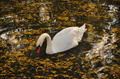 One swan floats in lake — Stock Photo